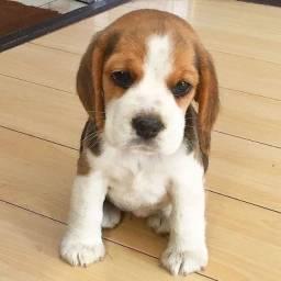 Beagle, macho e fêmea á pronta entrega!
