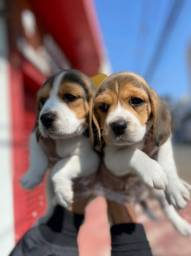 Lindos Filhotes de Beagle. Ja vacinados e com Pedigree