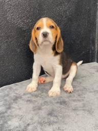 Beagle 13 polegadas machos