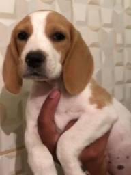 Filhote de beagle fêmea 2 meses e meio