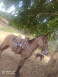 Vendo mula de patraõ segunda muda muito mansa