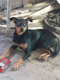 Vendo cachorra boxer com rottweiler