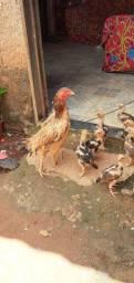 Vendo galinha é pintinhos