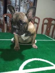 Bulldog Francês femea BLUE Gen 4 meses