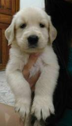 Filhotes de Golden Retriever com 2 meses