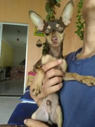 Cachorro macho raça pinhthe n:1 puro
