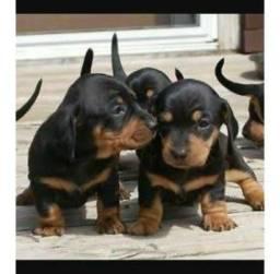 Filhotes de Basset Dachshund