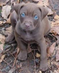 American bully blue, linda fêmea dos olhos claros