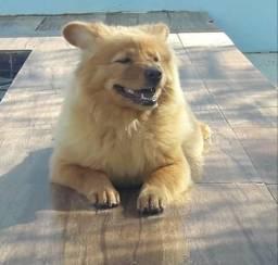 Vendo filhote de cachorro chow-chow