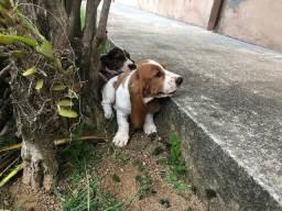 Últimos filhotes de Basset Hound vacinados e vermifugados