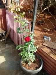 Muda rosa sem espinho e muda folhagem coleus