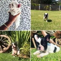 Bulldog Francês Disponíveis 11964948552
