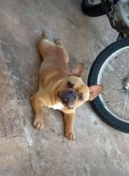 Bulldog Francês / Cruzamento