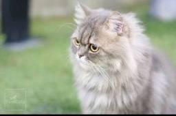 Gato Persa para cruza
