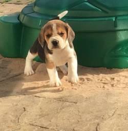 Beagle - Promoção a pronta entrega
