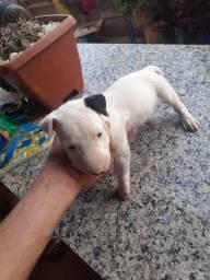 Filhote de Bull Terrier inglês