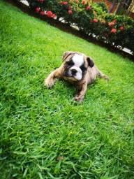 Filhote macho de bulldog inglês