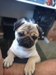 Pug - procura namorada
