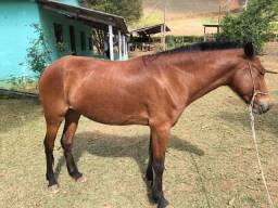Cavalo ( Égua )