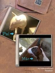 Filhote de Bull Terrier Ótima Procedência (Linhagem)