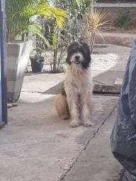 Cachorro da raça poodle