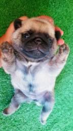 Vendo Lindos Filhotes De Pug