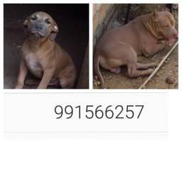 Vendo um filhote de pitbull