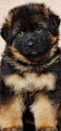 ^*^ pastor alemão filhote fêmea! Com pedigree