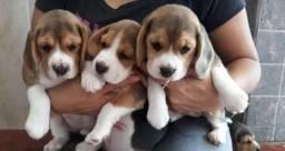 Beagle filhote macho com pedigree e vacina importada