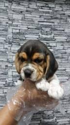 Beagle seu filhote feliz > você feliz.