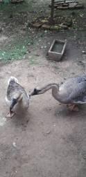 Casal de ganso sinaleiro
