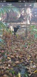 Vendo Cabra