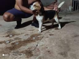 Macho de Beagle disponivel pra cruza