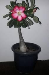 Flor do Deserto Pra Vim Pegar em Extremoz