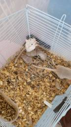 Gerbil (esquilo da Mongólia)