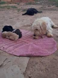 Cachorro poodle de pai e mãe
