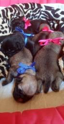 Lindos bebês Pug's Disponíveis Black e Abricot pedigree incluso