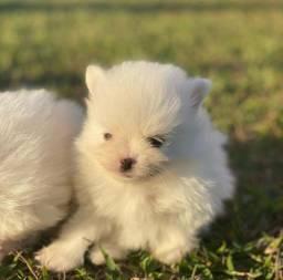 Lulu da Pomerania Branco