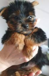 Yorkshire Terrier tamanhos micro e padrão,suporte veterinario * larissa