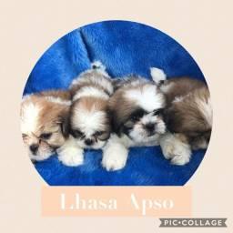 lhasa apso com pedigree e microchip em ate 18x
