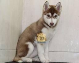 Linda Fêmea de Husky Siberiano Disponível