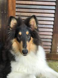 Collie de pelo longo(Lassie)