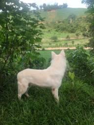 Lindos filhotes de pastor suíço vacinado e vermífugado