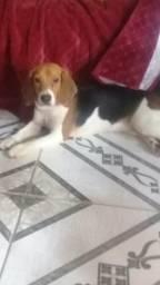 Cachorra Beagle(Mel)