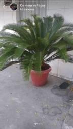 Palmeira cica revoluta grande