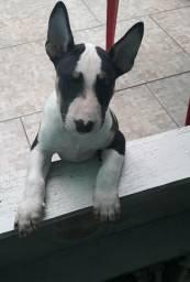 Meninos Bull Terrier