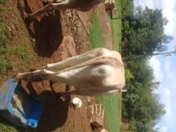 Vaca b