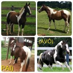 Cavalo potra paint horse