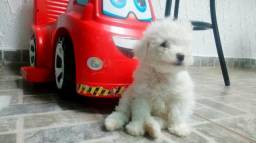 Linda filhote de poodle toy