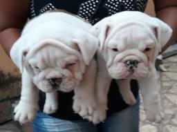 Bulldog inglês com pedigree cbkc